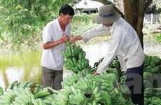 Kiên Giang: Trồng chuối thành công theo Viet GAP
