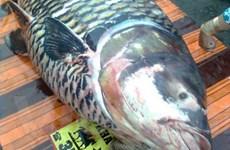 Nhiều loài thủy sản quý xuất hiện vào mùa nước nổi