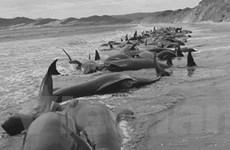 28 con cá voi bị mắc cạn ở bãi biển New Zealand