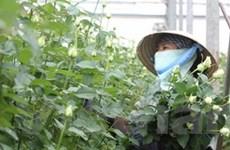 Đà Lạt Hasfarm chuẩn bị 400.000 chậu hoa dịp Tết