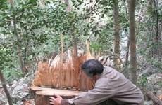 Thu giữ gần 990 thớt gỗ nghiến vận chuyển trái phép