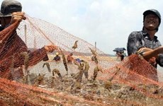 Thu hoạch sớm 1.200 tấn tôm non do ngại dịch bệnh