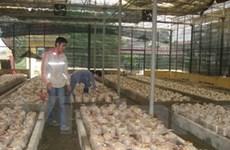 Đồng Tháp phát triển trồng nấm linh chi và bào ngư