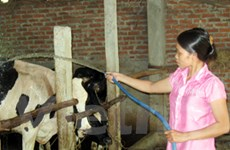 Nông dân Ba Vì vay tiền mua bò, trả nợ bằng sữa