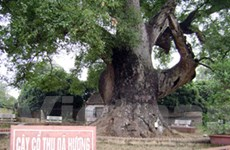 """Bảo vệ các """"cụ"""" cây bằng cách… vinh danh"""