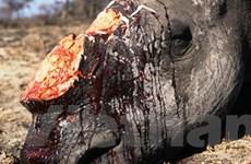 Tê giác một sừng đã bị tuyệt chủng tại Việt Nam