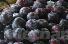 Rượu mận - hy vọng mới cho vùng mận Sơn La