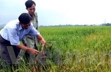 Các loại sâu bệnh hại lúa ngày càng tăng nhanh