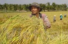 """Nông dân Bạc Liêu """"găm"""" lúa chờ giá lên"""