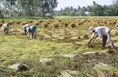 Mưa lớn đe dọa lúa ở Đồng bằng sông Cửu Long