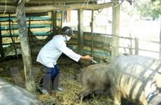 Dịch ở gia súc đang diễn biến phức tạp