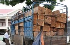 Lào Cai bắt giữ xe tải vận chuyển gỗ pơmu lậu
