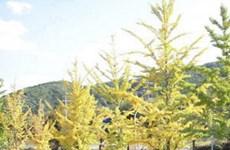Hà Nội trồng cây Ngân hạnh tại các vườn hoa
