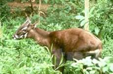 IUCN họp khẩn cấp cứu Sao La khỏi tuyệt chủng