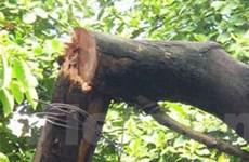 Lộ diện thủ phạm chặt trộm cây sưa ở Hà Nội