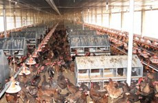 Điều tra chống trợ giá sản phẩm gà của Mỹ