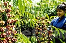 Agribank thực hiện cho vay mua tạm trữ càphê