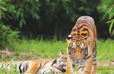 Hổ hoang dã đang đối mặt với nguy cơ biến mất