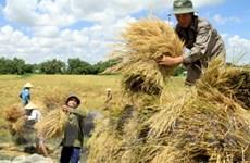 ĐBSCL phấn đấu đạt trên 2 triệu tấn lúa thu đông