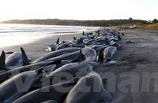 Cá voi hoa tiêu mắc cạn hàng loạt ở New Zealand