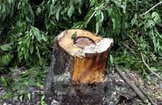 Đắk Lắk khởi tố hai đối tượng cưa trộm gỗ sưa
