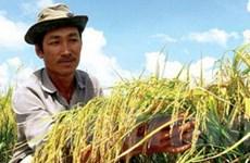 Chọn tạo hai giống lúa thơm mới chất lượng cao