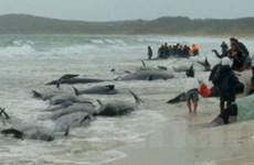 58 con cá voi chết do bị mắc cạn tại New Zealand