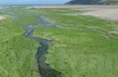 Tấm thảm tảo lục khổng lồ xâm chiếm biển Baltic