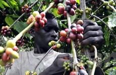 Cote d'Ivoire sẽ cấm xuất khẩu cacao và càphê