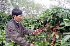 Diện tích càphê Đắk Lắk tăng không theo quy hoạch