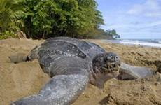 Rùa biển đang diệt vong vì sở thích ăn trứng rùa