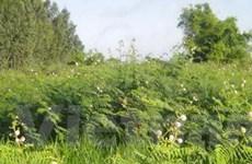 Cây mai dương đang đe dọa Vườn Quốc gia Cát Tiên