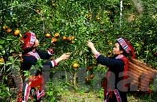 Tuyên Quang bảo tồn và phát triển giống cam sành