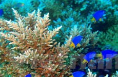 80% san hô ở Brazil sẽ biến mất trong 50 năm tới
