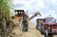 Ngành mía đường của Cuba đang dần dần hồi sinh