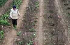 Thí điểm trồng đào thuần giống tại quận Long Biên