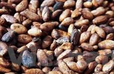 Cacao có xu hướng giảm giá do nguồn cung dồi dào