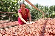 Giá cacao tăng mạnh trở lại do nhu cầu đã vượt cung
