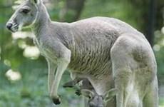 Nga cấm nhập khẩu thịt Kanguru từ Australia