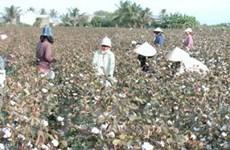 Liên kết khôi phục trên 4.000ha bông nguyên liệu