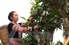 Yên Bái: Tạm dừng cấp phép chế biến chè tại tỉnh
