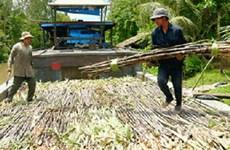 Hậu Giang: Nhà máy đường sẽ vào vụ sớm 1 tháng