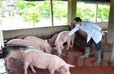Nam Định: Dịch tai xanh ở đàn lợn diễn biến phức tạp