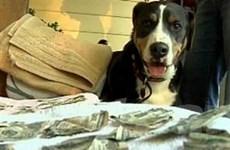 Chó bị giam vì gặm tiền