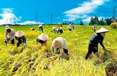 Thị trường lúa gạo ĐBSCL nhộn nhịp bán mua