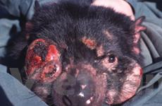 Động vật chết vì bệnh ung thư ngày càng nhiều