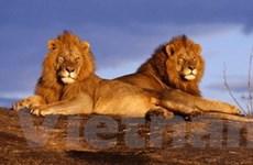 Báo động nguy cơ tuyệt chủng sư tử tại Kenya