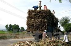 Giá mía tăng, nhà máy đường vẫn ngừng hoạt động