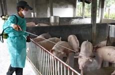 Dịch tai xanh ở lợn đã lan ra tổng cộng 27 tỉnh