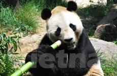 Một chú gấu trúc bị chết vì thụ tinh nhân tạo